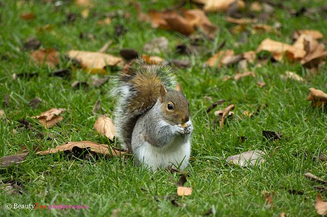 Écureuil à Hyde Park