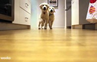 Puppies running for food timelapse