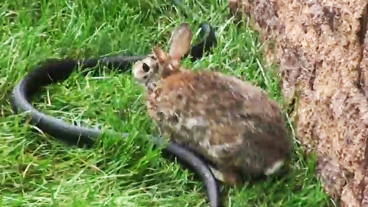 Rabbit fights snake