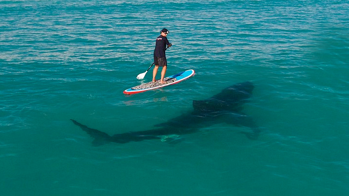 Surfing with great white sharks