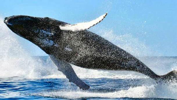 Whale jumping closer than expected