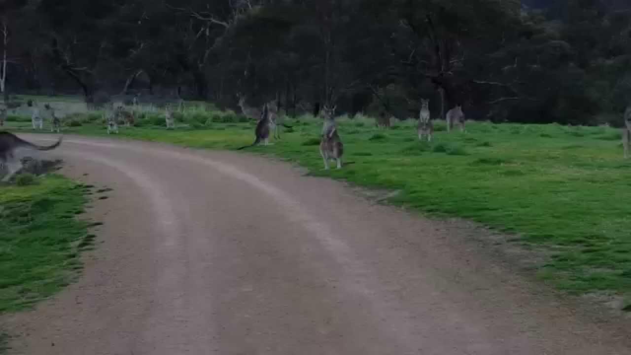 Biker encounters a horde of kangaroos