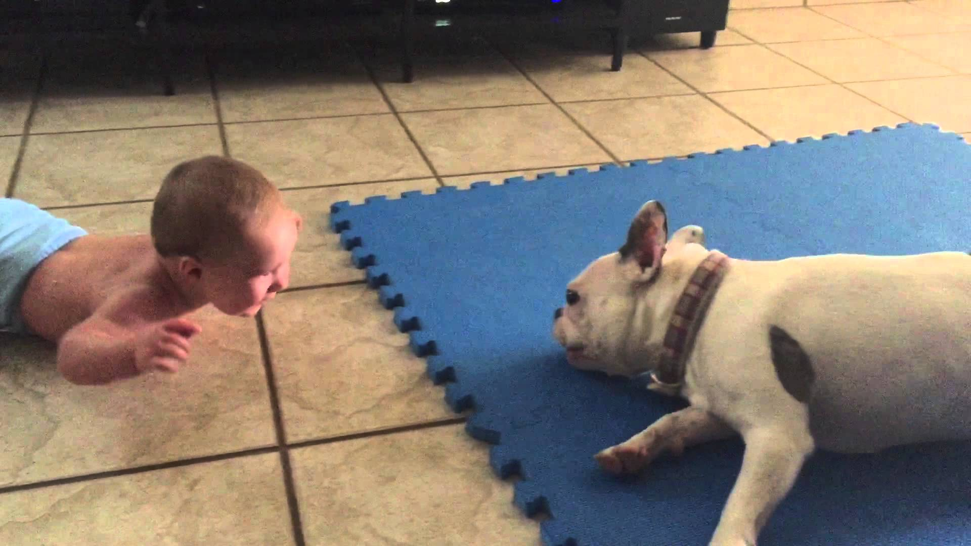 French Bulldog spins to make the baby laugh
