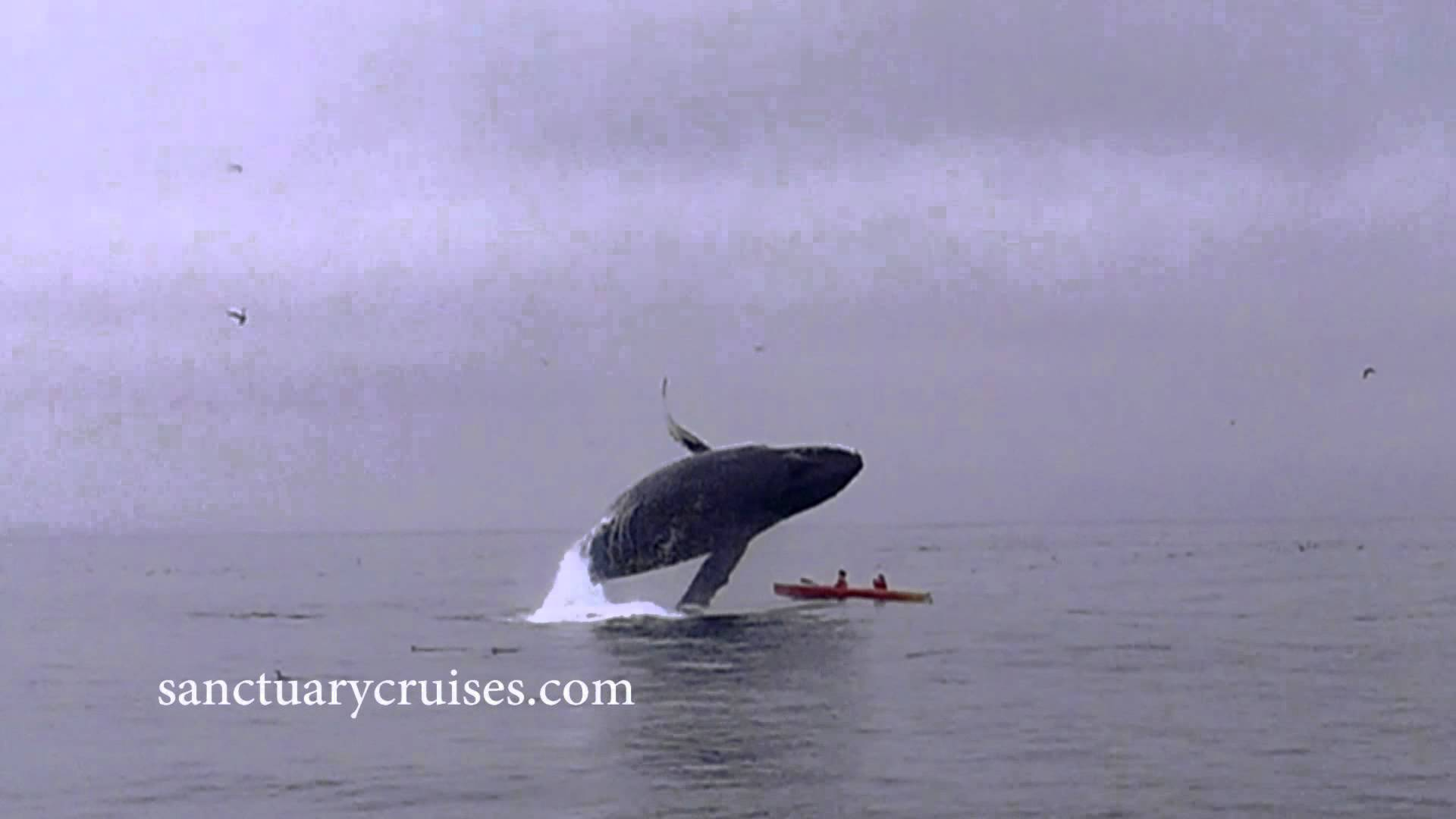 Kayakers are almost crushed by a Humpback Whale