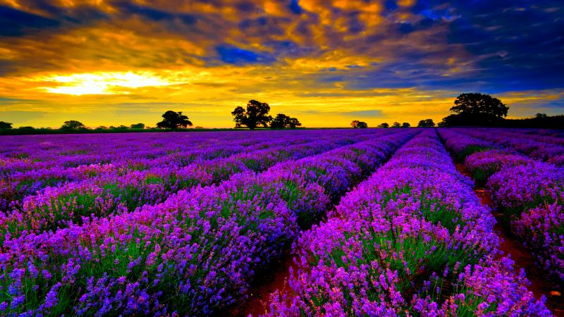 lavender_fileds