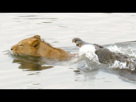 Lion attacked by crocodile