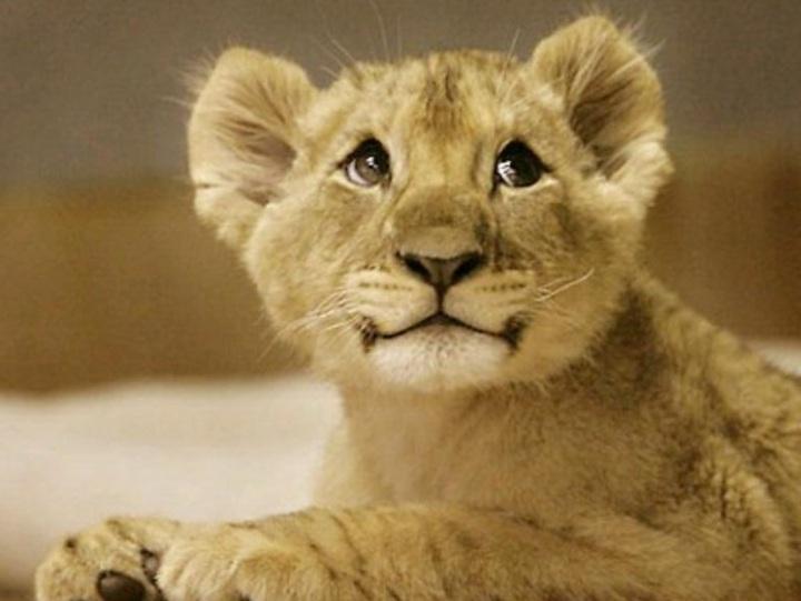 'Ferocious' lion cub roar