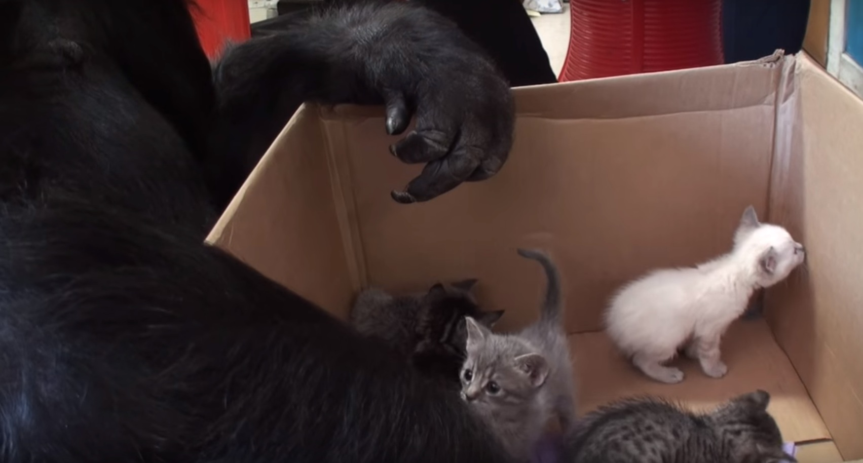 Gorilla adopts kittens