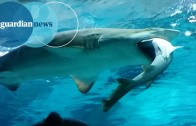 Big shark eats a smaller shark