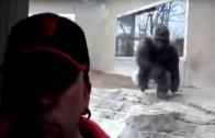 Zoo Gorilla tries to attack