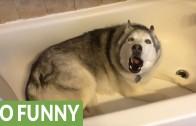 Moody Husky howls in the bathtub