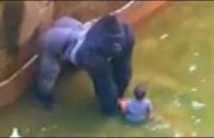 Toddler rescued by a zoo Gorilla