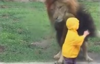 Lion vs toddler in Japan