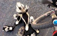 Biker meets a skunk family