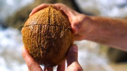 Open coconuts with just a rock