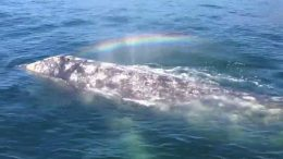 Whale shoots rainbow out of her blowhole