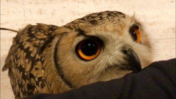 Pet Owl Loves Her Owner