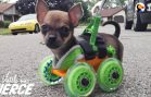 Tiny Puppy on Wheels